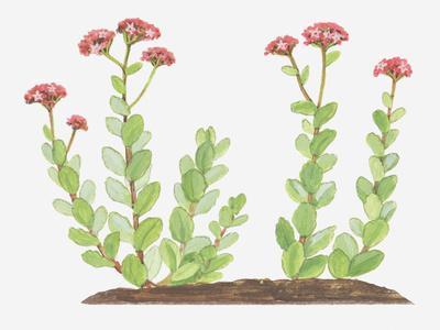 Illustration of Sedum Telephium (Orpine), Succulent Plant with Red Flowers