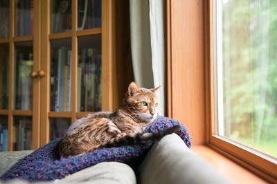 Bengal Mix Cat Relaxing on Indigo Blue Blanket by Large Window Looking Outside