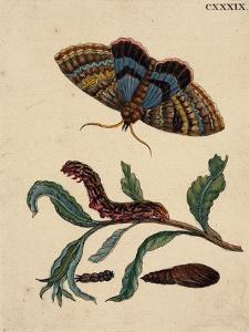 Salix viminalis mit Falter, Raupe und Puppe des Pappelkarmin Catocala elocata by Anna Maria Sibylla Merian