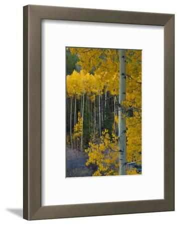 Autumn Aspens Along Cottonwood Pass, Rocky Mountains, Colorado,USA