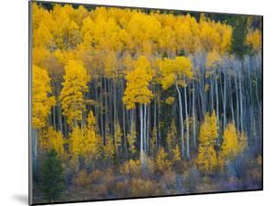 Autumn Vista with Yellow Aspens Along Cottonwood Pass, Rocky Mountains, Colorado,USA by Anna Miller