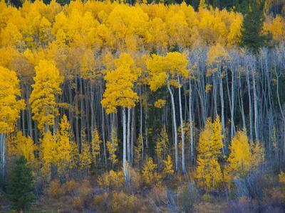 Autumn Vista with Yellow Aspens Along Cottonwood Pass, Rocky Mountains, Colorado,USA