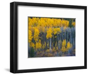Autumn Vista with Yellow Aspens Along Cottonwood Pass, Rocky Mountains, Colorado,USA by Anna Miller