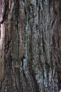 Bark Detail, Muir Woods, Marin Headlands, California by Anna Miller