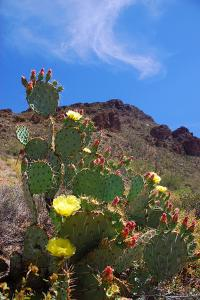 Blooming Cactus in Arizona Desert Mountains by Anna Miller