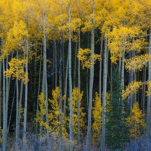 Bright Yellow Aspens Along Cotonwood Pass, Rocky Mountains, Colorado,USA by Anna Miller