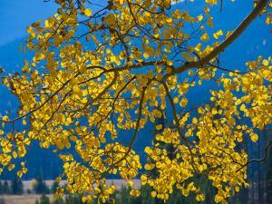 Bright Yellow Leaves of Aspen Tree in Rocky Mountains National Park, Colorado,USA by Anna Miller