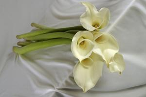 Calla Lily by Anna Miller