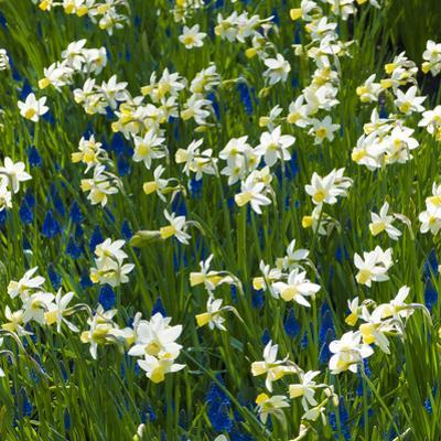 Daffodil Blooms by Anna Miller