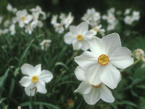 Daffodil Field by Anna Miller