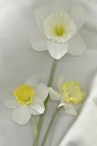 Daffodil Still Life by Anna Miller
