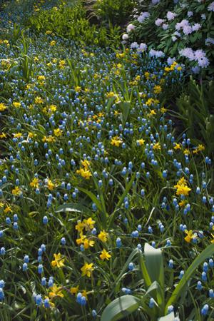 Daffodils and Grape Hyacinth by Anna Miller