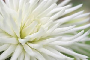 Dahlia Abstract by Anna Miller