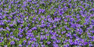 Field of Purple Crocus Flowers by Anna Miller