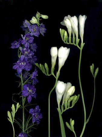 Freesia and Delphinium on Black Background