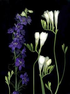 Freesia and Delphinium on Black Background by Anna Miller