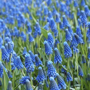 Grape Hyacinth in Bloom by Anna Miller