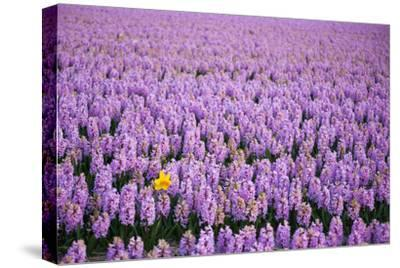 Hyacinth Flower Fields in Famous Lisse, Holland