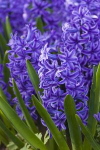 Hyacinth in bloom by Anna Miller