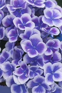 Hydrangea Blooms by Anna Miller