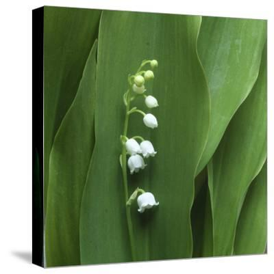 Lily of the Valley Flower Closeup