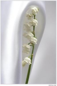 Lily of the Valley by Anna Miller