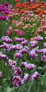 Multi Color Tulip Flowerbeds by Anna Miller