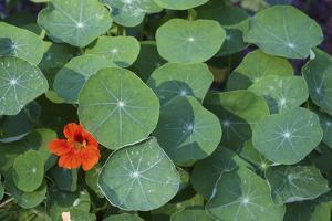 Nasturtium Leaves and Flower by Anna Miller