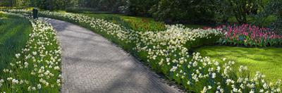 Path Thru Daffodil Flowebeds by Anna Miller