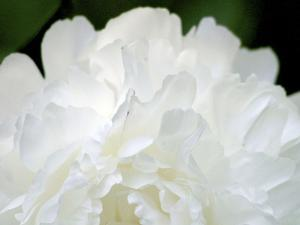 Peony Abstract by Anna Miller
