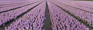 Pink Hyacinth Flower Field in Lisse, Holland by Anna Miller