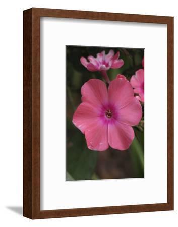 Pink Phlox Bloom