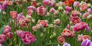 Pink Tulip Field by Anna Miller