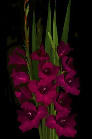 Red Gladiola by Anna Miller