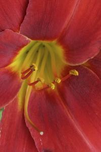 Red Lily Abstract by Anna Miller