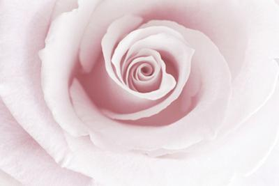 Rose Abstract by Anna Miller