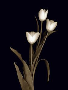 Sepia Tulips by Anna Miller
