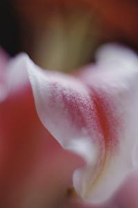 Stargazer Lily Abstract by Anna Miller