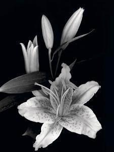 Beautiful flowers black and white photography artwork for sale stargazer lily study mightylinksfo