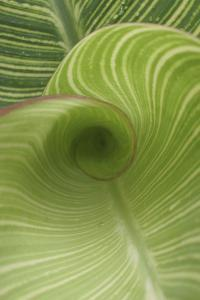 Striped Canna Leaf Abstract by Anna Miller