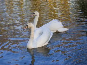 Swans in Keukenhof Gardens by Anna Miller