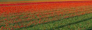 Tulip Flower Fields in Famous Lisse, Holland by Anna Miller