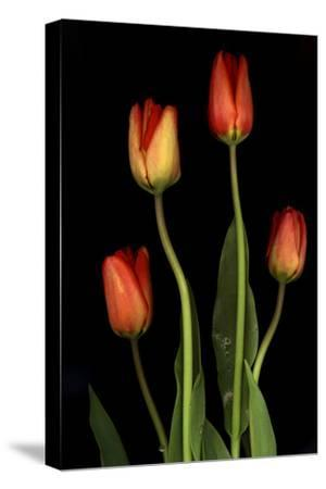 Tulips on Black Background