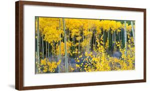 USA, Colorado. Bright Yellow Aspens in Rockies, Cottonwood Pass. by Anna Miller