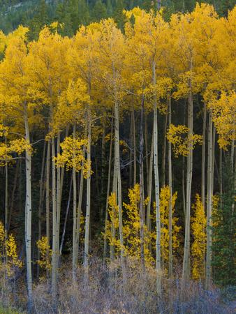 USA, Colorado. Bright Yellow Aspens in Rockies, Cottonwood Pass.