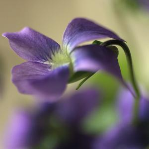 Violet Closeup by Anna Miller