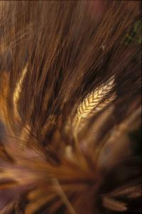 Wheat Closeup by Anna Miller