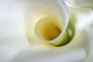 White Calla Lily Abstract by Anna Miller