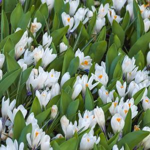 White Crocus Blooms by Anna Miller