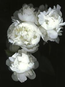 White Peonies by Anna Miller